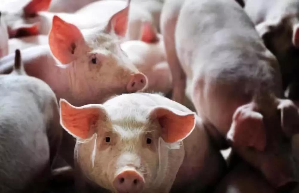 猪价剑指15元,接下来会发生什么?进口肉大幅增加?