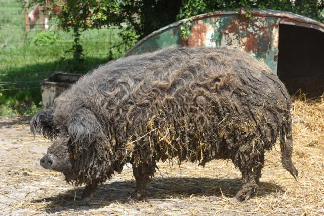 """披着羊毛的猪 稀有品种的猪 被称为""""曼加利察猪"""""""