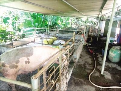养猪场藏身居民区 猪粪露天排放 地面污水横流
