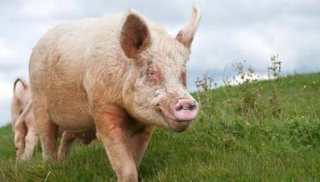 江苏响水:防控非瘟全力打击违法行为 推动生猪生产高质量发展