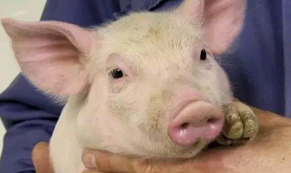 德国先进猪场的自我修炼,流程化、标准化的种猪饲养管理值得借鉴