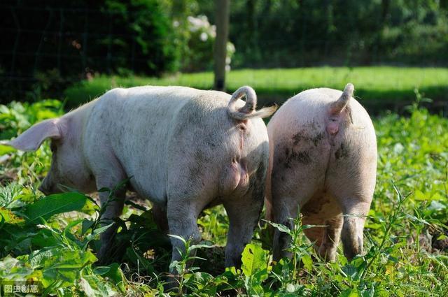 猪场类型还是基因?猪场类型对母猪繁殖性能的影响