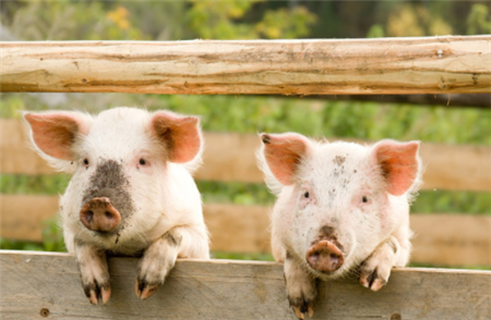生猪产业正在重新洗牌 淘汰落后屠宰企业