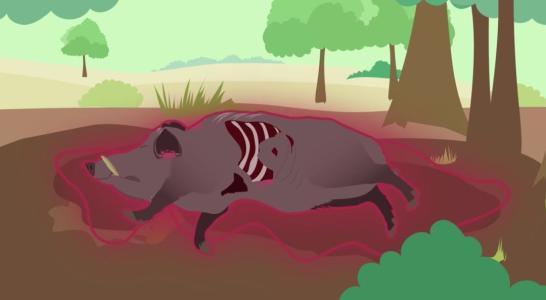 空气是不是非洲猪瘟的传播途径之一?答案来了!