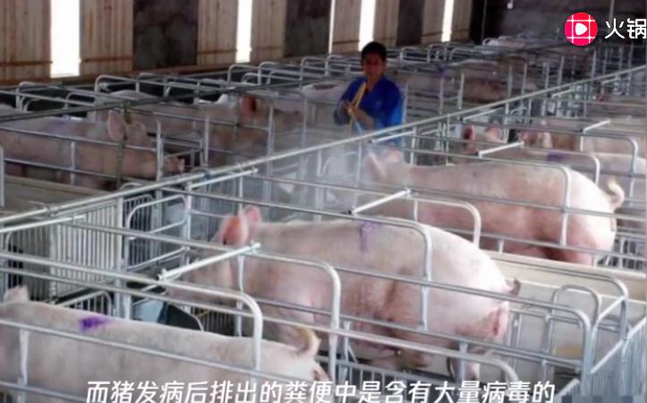 """猪场出现""""疫情""""别害怕,一种消毒方式可帮你,值得养猪人学习"""
