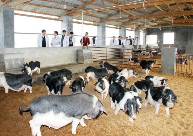 """宁乡""""猪司令""""教你 养殖户如何做好非洲猪瘟防控?"""