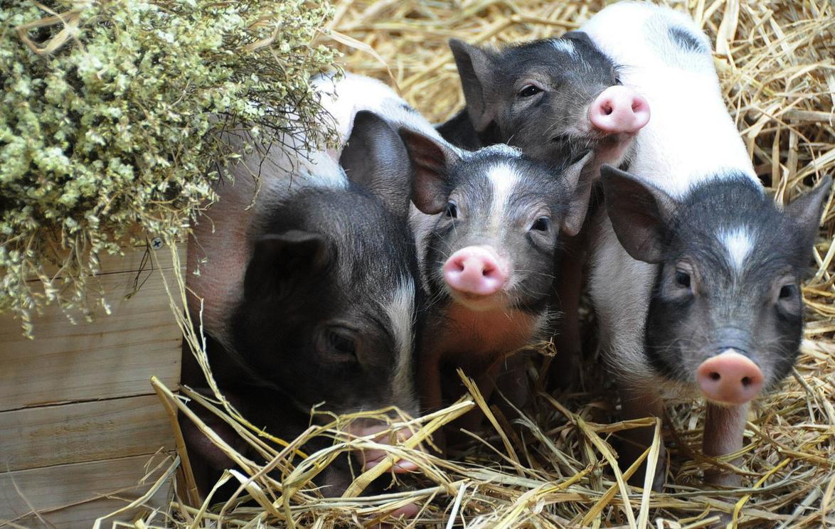 有着六千多年历史的中国养猪业,难道你想放弃了?