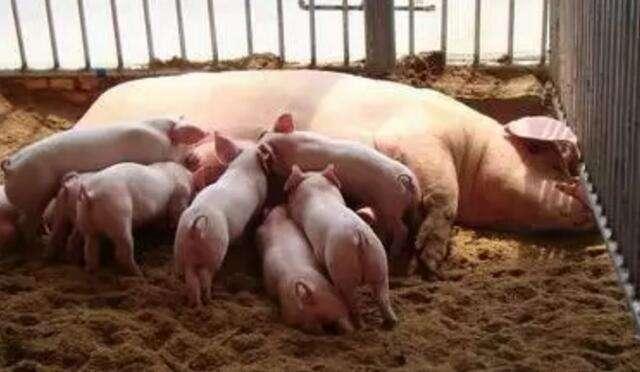 母猪为什么不哺乳?这四点可能性别忽略!