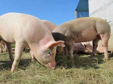 上半年中国生猪养殖市场规模庞大,下半年猪价继续大涨