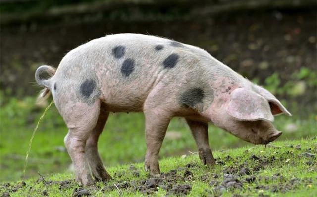 西双版纳景洪市暂停生猪调运和猪肉及猪肉制品流通