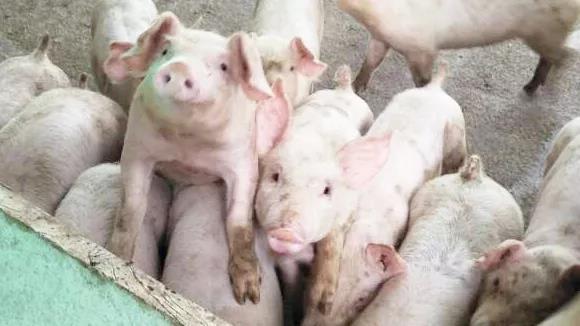 发补贴、实行生产红线…且看各地政府如何稳定生猪生产!