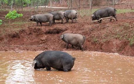 四川还有猪吗?6月中旬起开始恐慌性抛售,目前还剩多少猪?
