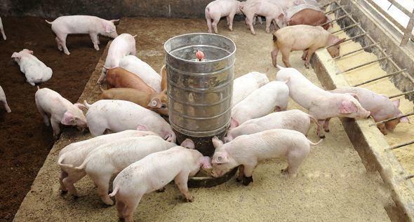 高温对泌乳母猪饲料营养的影响,温度升高母猪采食量骤降