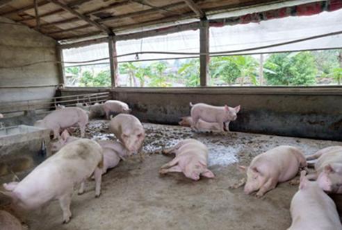 猪场常用的5类催情产品的正确使用方法!