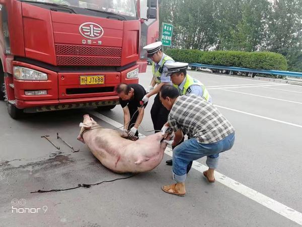 """400余斤生猪从货车""""越栏""""狂奔,交警高温下将生猪""""缉拿归案"""""""