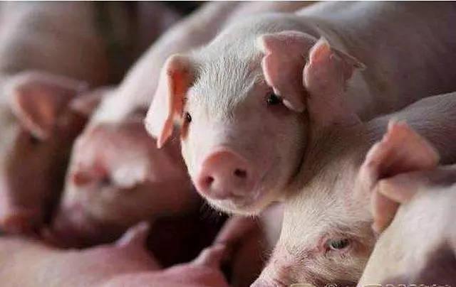 """今年广东生猪出栏目标3400万头,""""猪十条""""保供应担落规模化养殖企业肩上"""