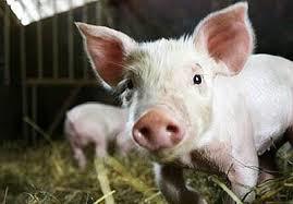 走私苗、中试苗和自用苗等疫苗齐冒头,猪友小心赔了夫人又折兵
