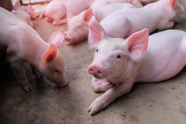 7月29日全国生猪价格整体高位运行,稳定为主,等待上涨时机!