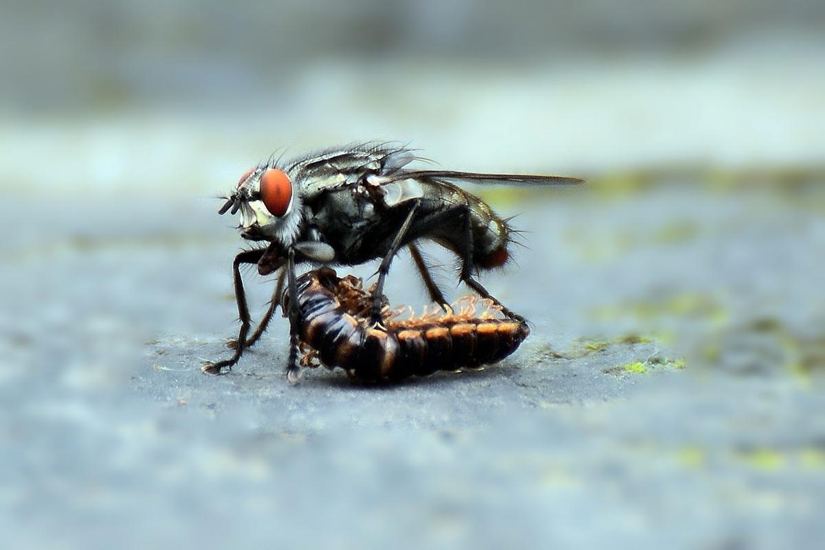 非洲猪瘟病毒通过蚊蝇传播携带多久?猪吃了带有病毒的蚊蝇,会被感染吗?