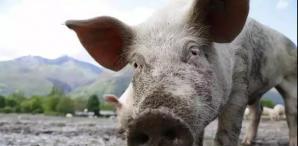 非洲猪瘟病毒可能是美军制造!非洲猪瘟疑似人祸,中国同为受害者