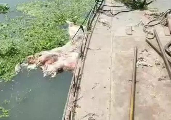 兴化某水域惊现黑色病死生猪!随意丢弃病死猪查处受到法律处罚!