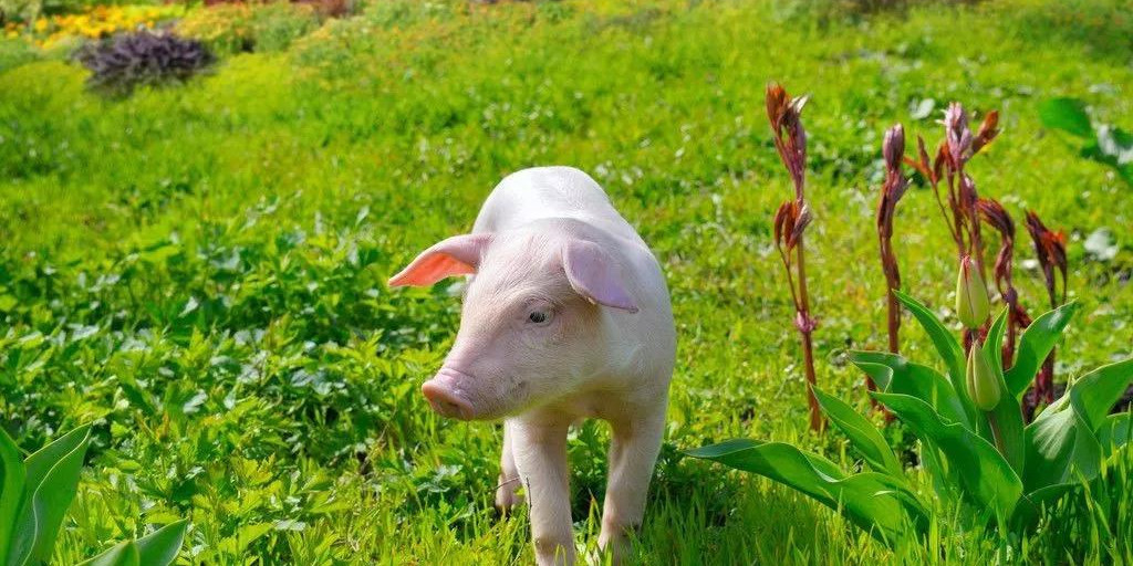 8月猪价将一路猛涨?大好行情,专家却建议不要急着补栏!