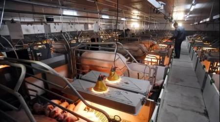 现代化猪场 哺乳母猪饲喂系统(II)