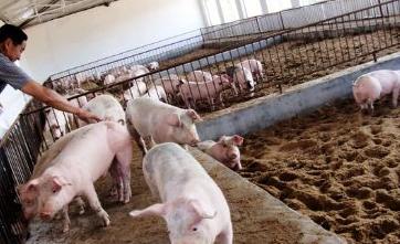 乌克兰养猪企业数量及生猪存栏量减少,全球生猪养殖行情不容乐观