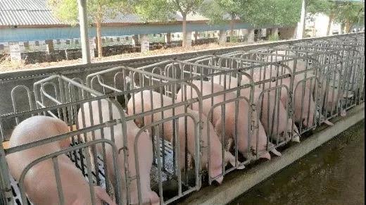 现代化规模猪场盘点猪场内部防控10大漏洞