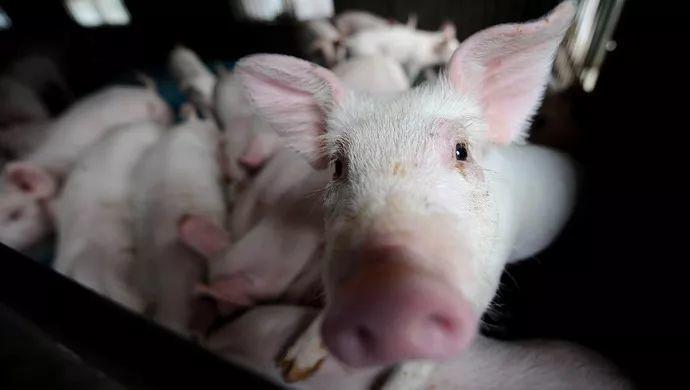 辟谣!某银行职工食用猪肉感染非洲猪瘟?老谣言又出现了!