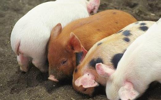 7月31日全国生猪供需僵持,两广地区猪价高位运行,生猪清栏猪圈变鸡舍!