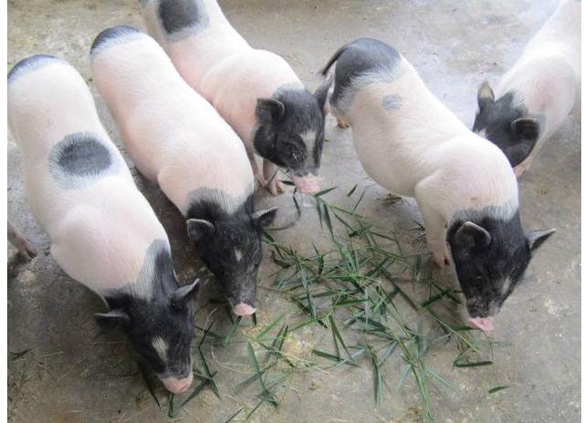 2019年8月1日20公斤仔猪价格行情走势