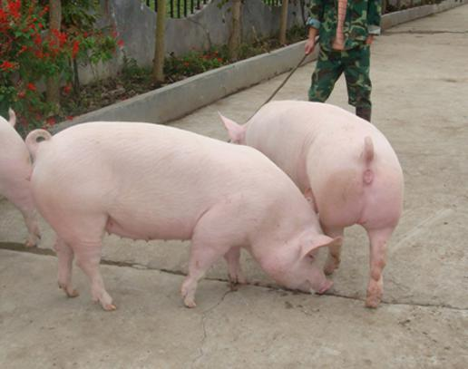 2019年08月1日全国各省生猪价格外三元价格报价