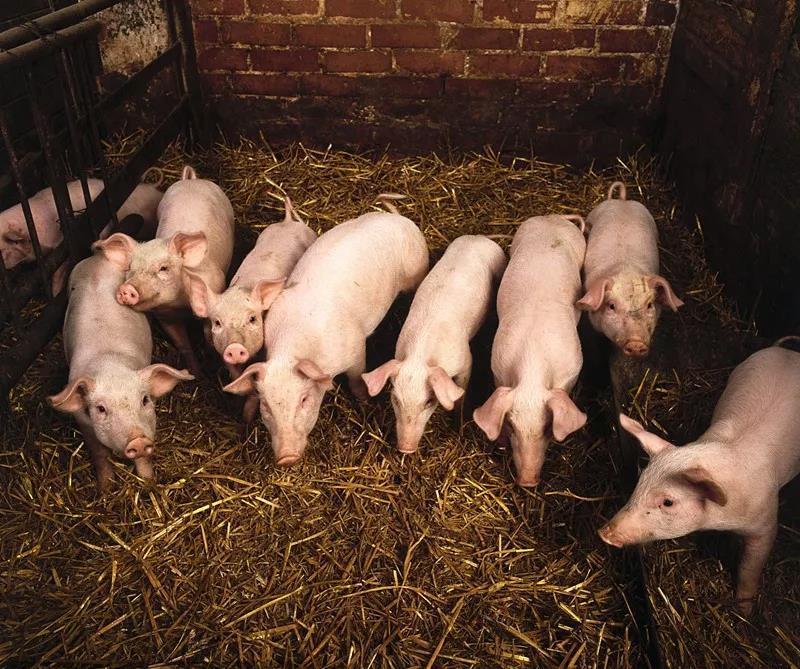 防好非瘟的前提下再来提高效益 那如何选择饲料,控制成本呢?