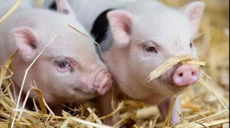 2019年8月2日20公斤仔猪价格行情走势