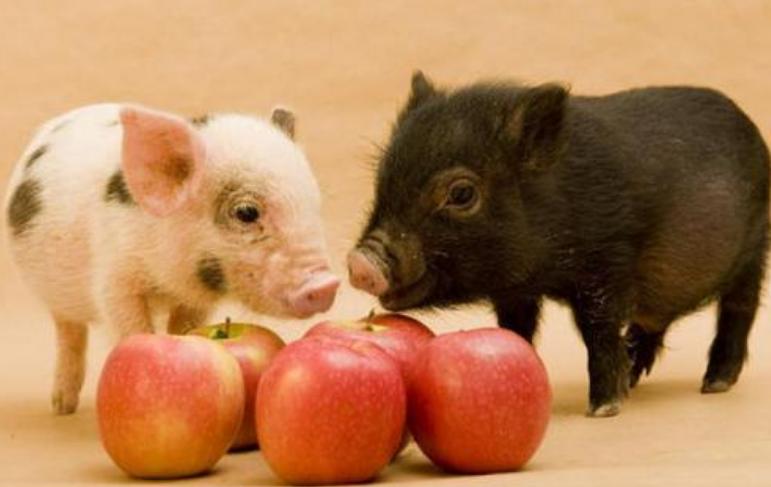 你重视母猪的补铁生血吗?母猪贫血会造成产死胎的增加