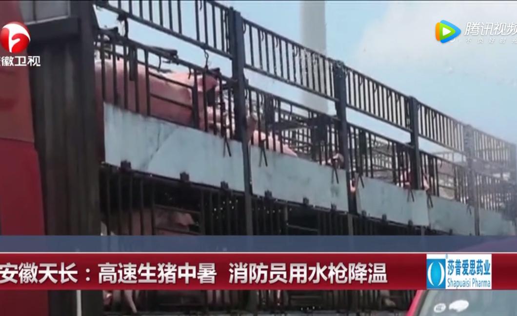 安徽天长:高速生猪中暑 消防员用水枪降温