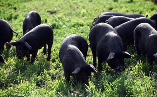 """从养猪熏肉到规模化养殖,恩施""""慢生长""""黑猪实现快发展"""