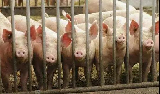 日本逮捕涉嫌走私感染非洲猪瘟肉的一名越南留学生