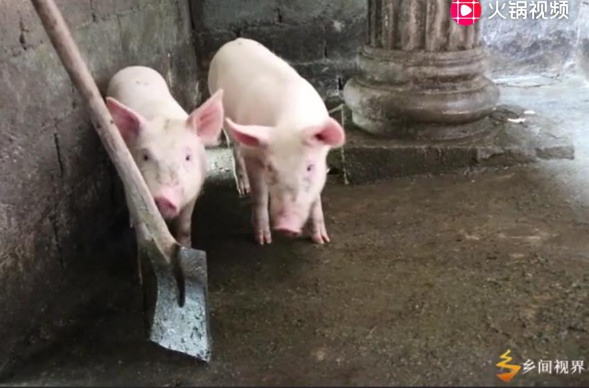 农村水泥地板的猪圈,像这样一周洗1次,小猪不容易生病