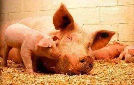 盛夏高温,母猪热应激问题凸显怎么办?凉风扇让母猪无忧