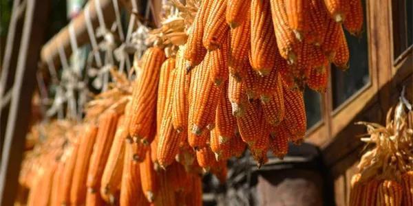 7月全国玉米价格小幅上涨,8月继续看涨,预计9月价格或有下滑!