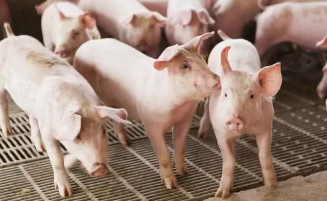 生猪养殖利润兑现窗口待启,养殖行情还看龙头猪企!