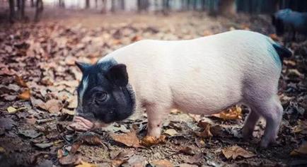 山东:生猪价格创年内新高,预计八月份猪价将持续上涨