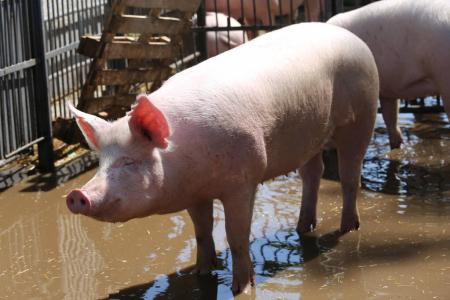 """""""四体一保""""一站式保险项目""""为生猪养殖提供""""整体解决方案"""""""