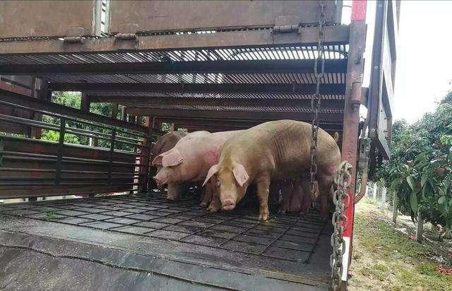 非瘟等因素助推,7月上市生猪养殖企业生猪出栏量下滑,猪价存上涨空间!