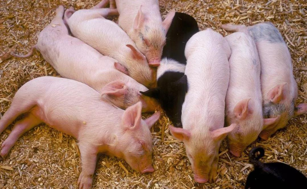 生猪养殖利润持续向好,为何散户不愿复养?要听实话吗?