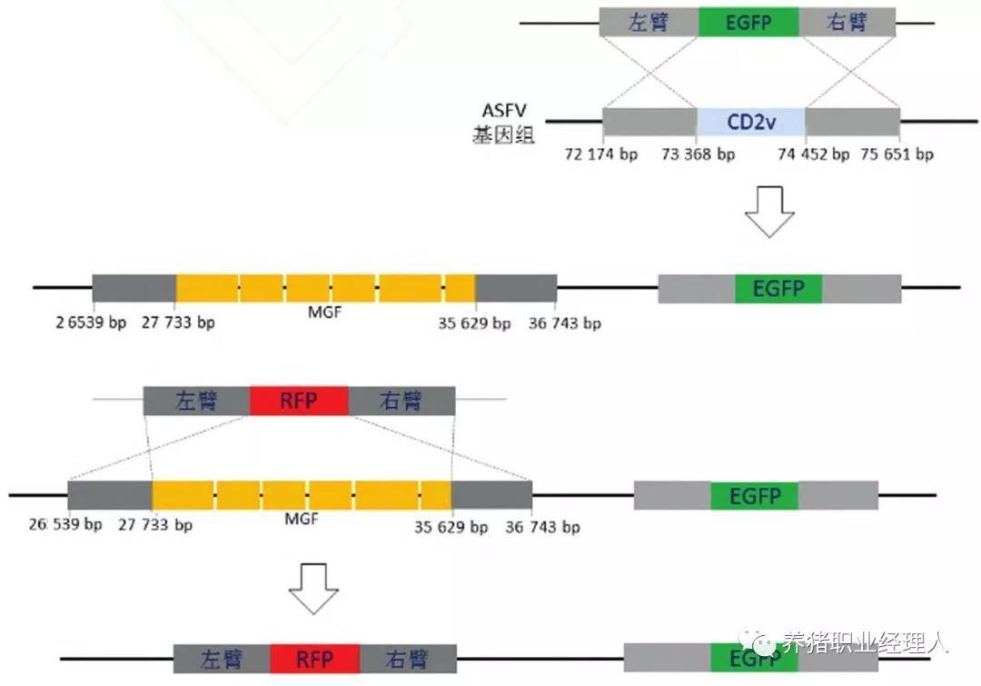 基因缺失病毒构建策略