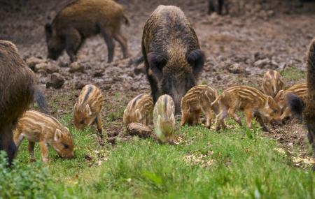 浅析如何提高母猪产仔数及质量 如何提高母猪繁殖性能呢?