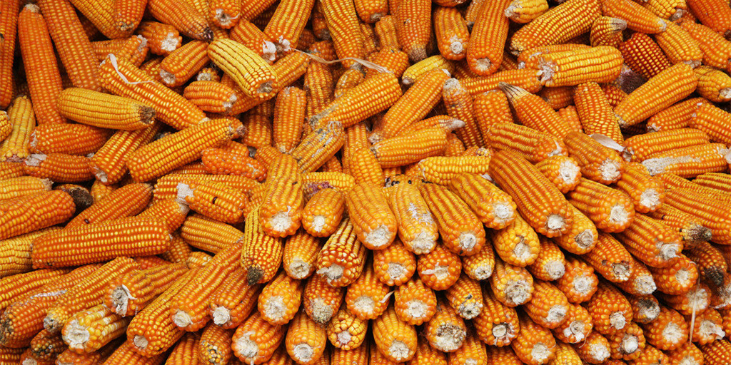 2019年08月8日全国各省玉米价格及行情走势报价